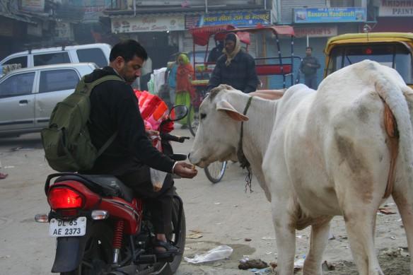 Allmorgendlicher Stopp: Etwas Kuhfutter stimmt die Götter gnädig. Foto: Lisa Kügel